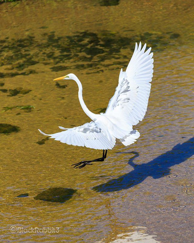 ダイサギ( Great Egret )
