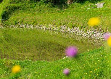紫と黄が囲む棚田