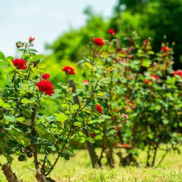 野なかの薔薇